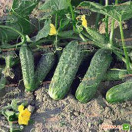 семена огурца крион f1