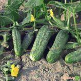 Крион F1 семена огурца пчелоопыляемого (Agri Saaten)