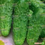 семена огурца митчел f1