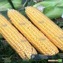 Свит Имидж F1 семена кукурузы суперсладкой (Agri Saaten)