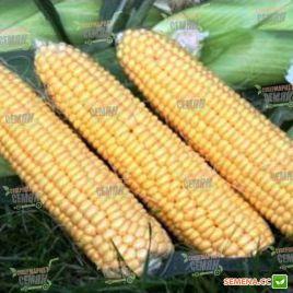 Свит Имидж F1 семена кукурузы суперсладкой Sh2 среднеранней до 78дн. 22см 16р. (Agri Saaten)