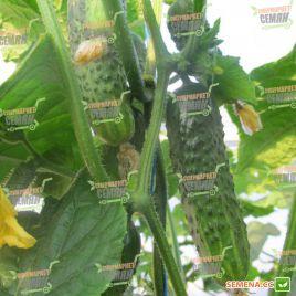 Афина F1 семена огурца партенокарп. раннего 38-40 дн. 10-12 см (Nunhems)