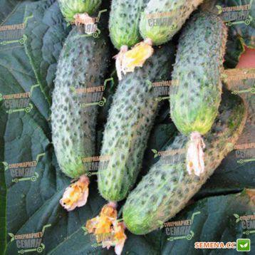 семена огурца акилина f1