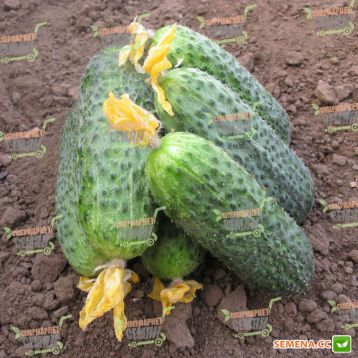 семена огурца беттина f1