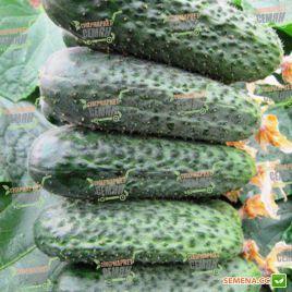 Беттина F1 семена огурца партенокарп. раннего 38 дн. 10-12 см (Nunhems)