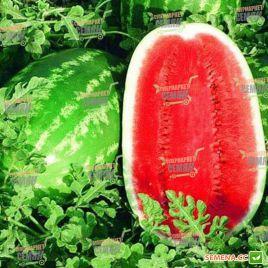 Думара F1 семена арбуза тип Кримсон Свит (Bayer Nunhems)
