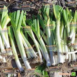 Кентон F1 семена лука порей раннего 80-84дн. (Bayer Nunhems) СНЯТО С ПРОИЗВОДСТВА