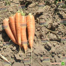 Колтан F1 (1,6-1,8) семена моркови Нантес/Флакке поздней 115 дн. (Nunhems)