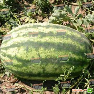 Леди F1 семена арбуза тип Кримсон Свит раннего 65-68 дн. 9-11 кг опылитель (Bayer Nunhems)