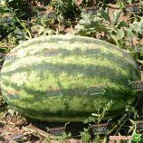 Леди F1 семена арбуза тип кр.св. раннего 65-68 дн. 9-11 кг опылитель удл. (Nunhems)