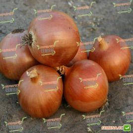 Пандеро F1 семена лука репчатого среднего 115-120 дн. длинн. дня (Bayer Nunhems)