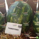 Тамерлан F1 семена арбуза тип кр.св. среднего 75-80 дн. 12-14 кг овал. (Nunhems)