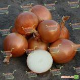 Універсо F1 насіння цибулі ріпчастої (Bayer Nunhems)