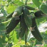 Амант F1 семена огурца корнишона партенокарп. раннего 40-45 дн. 8-10 см (Bejo)