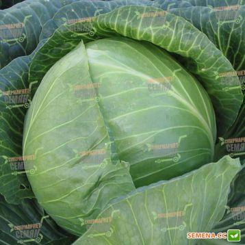 Амазон F1 семена капусты б/к ранней (Bejo)