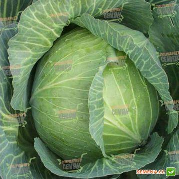 Амтрак F1 семена капусты б/к поздней 140-145 дн. 3-5 кг (Bejo)