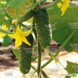 семена огурца амур f1