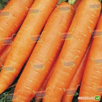 Берлин F1 (1,6-1,8мм) семена моркови Берликум средней 113 дн (Bejo)