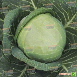 Фарао F1 семена капусты б/к ранней 63-65дн 3кг (Bejo)
