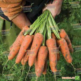 Кардиф F1 (1,6-1,8мм) семена моркови Шантане ранней 100 дн. (Bejo)