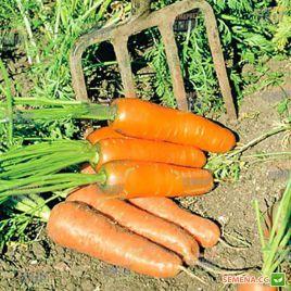 Кардиф F1 (2,2-2,4мм) семена моркови Шантане ранней 100 дн. (Bejo)