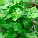 Карибе семена кориандра (кинзы) 75 дн. (Bejo)