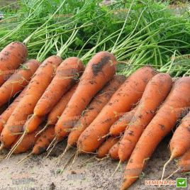 Карини семена моркови Флакке ранней 100 дн. (Bejo)