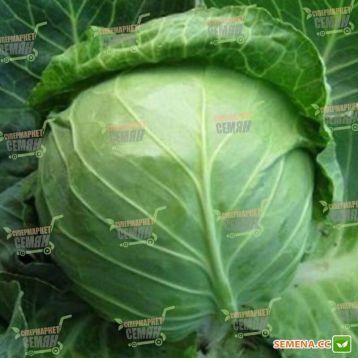 Катарина F1 семена капусты б/к ранней 50-58 дн. 1-1,8 кг (Bejo)