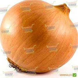 Катинка F1 семена лука репчатого среднего 110 дн. (Bejo)