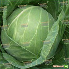 Кебтон F1 семена капусты б/к поздней 127 дн. 2-4 кг (Bejo)