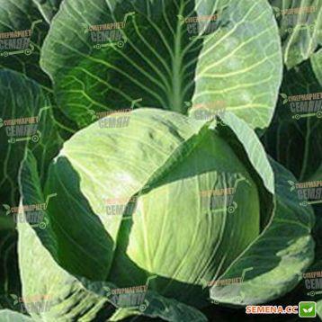 Харрикейн F1 семена капусты б/к средней 97 дн. 2,5-4,5 кг (Bejo)
