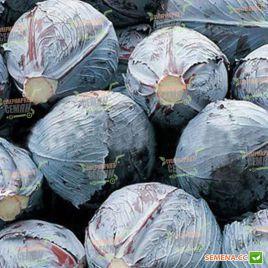 Климаро F1 семена капусты к/к поздней 120 дн. 3 кг окр. (Bejo)