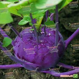 Колибри F1 семена капусты кольраби (Bejo)