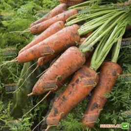 Кордоба F1 семена моркови Шантане PR (1,8-2,0 мм) (Bejo)