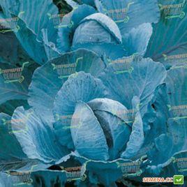 Лектро F1 семена капусты к/к поздней 122 дн. 2-3 кг окр. (Bejo)