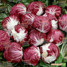 Леонардо семена салатного цикория кочанного 81дн. фиолетового (Bejo)