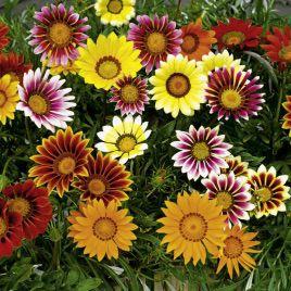 Блестящая низкорослая смесь семена газании (Hem Zaden)