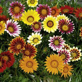 Газания блестящая низкорослая смесь семена (Hem Zaden ПН)