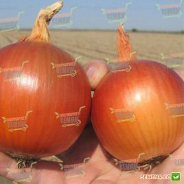 Манас F1 (Precision) семена лука репчатого среднего 110-115дн (Bejo)