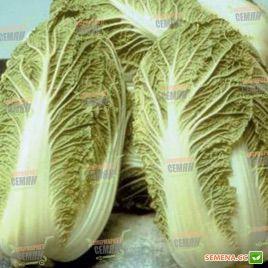 Маноко F1 семена капусты пекинской (Bejo)