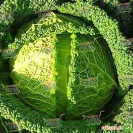 Меліса F1 насіння капусти савойської (Bejo)