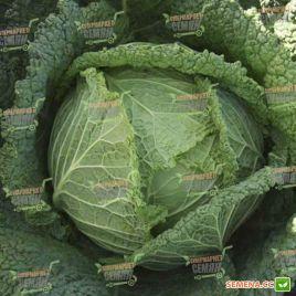 Мелисса F1 семена капусты савойской ранней 80 дн 1,5-2,5кг (Bejo)