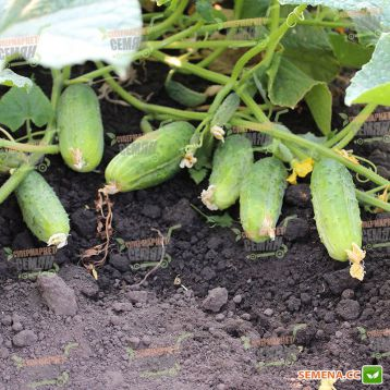 семена огурца регина f1