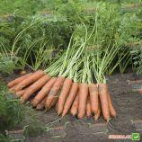 Наполи F1 семена моркови Нантес (1,8-2,0 мм) PR (Bejo)