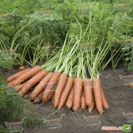 Наполи F1 семена моркови Нантес PR (2,2-2,4 мм) (Bejo)