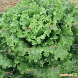 семена салата батавия ланселот