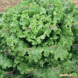 Ланселот семена салата тип Батавия зел. (Enza Zaden)