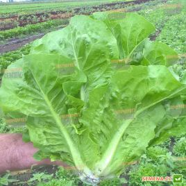 Бацио семена салата тип Ромен (Enza Zaden)