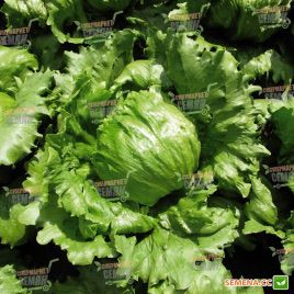 Кларист Organic семена салата тип Айсберг (Enza Zaden/Vitalis)