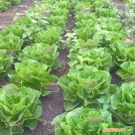 Корбана семена салата тип Ромэн зел. (Enza Zaden)